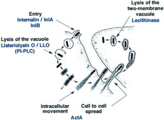 Cell_infection_process